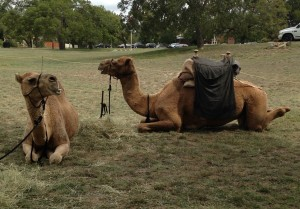 Camels 3