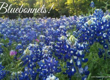 More about Bluebonnets