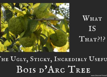 The Ugly, Sticky, Incredibly Useful Bois d'Arc Tree